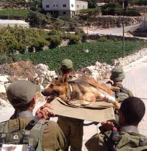 IDF dog on a stretcher being carried in Gaza