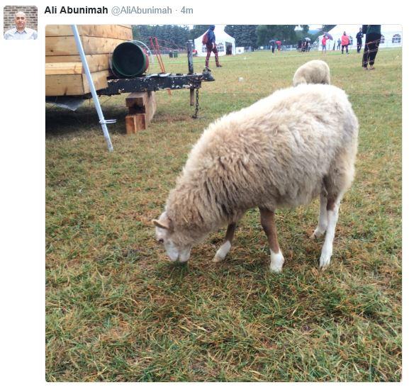 ali-sheep