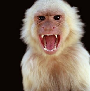 Angry baboon face - photo#22