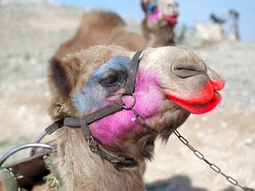 Image result for beauty camels