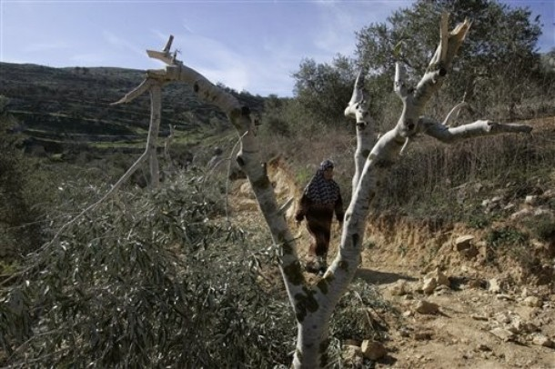 palestinian woman olive tree - AP